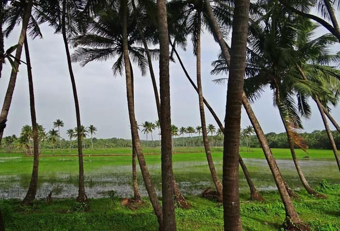 coconut grove goa india fluidsymmetry
