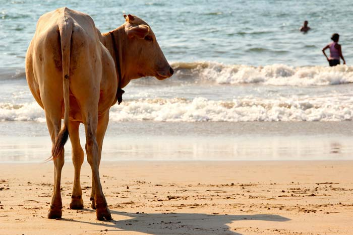 cows on the beach at sunset, Agonda, Fluidsymmetry